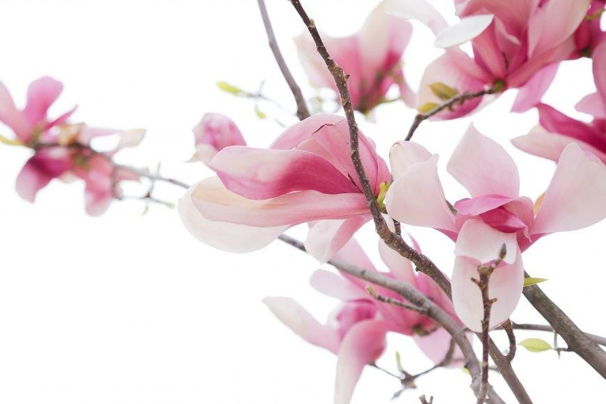 Симферополь начал оживать: распустились почки, зацвели плодовые деревья (ФОТО), фото-10