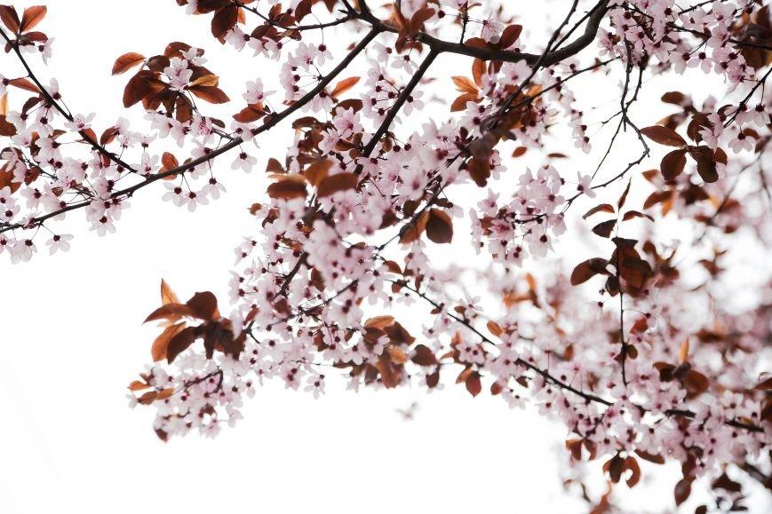 Симферополь начал оживать: распустились почки, зацвели плодовые деревья (ФОТО), фото-8