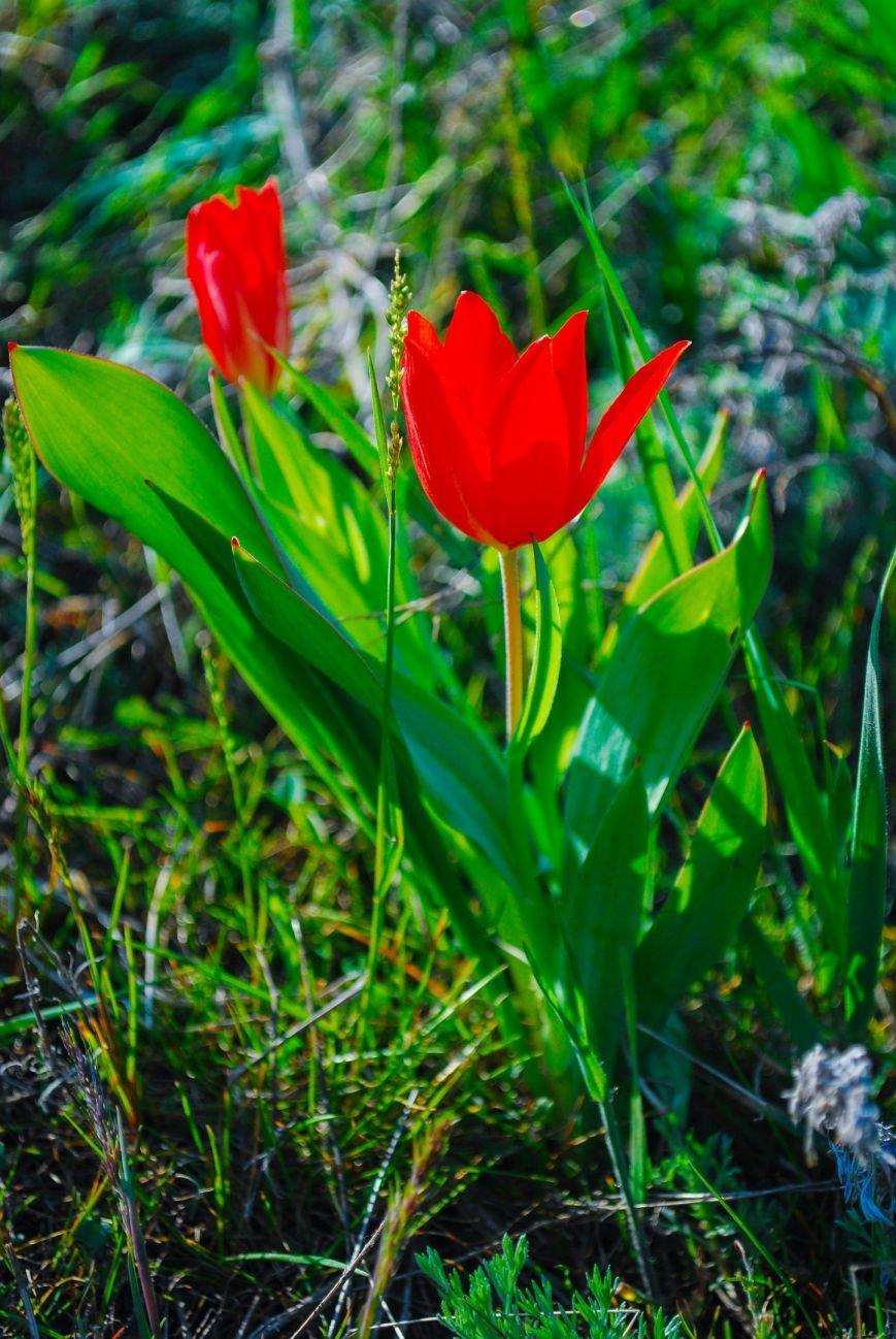 На склонах одесского Фонтана расцвели тысячи диких тюльпанов: смотри, как красиво (ФОТО), фото-6