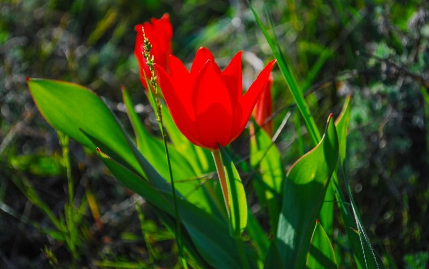 На склонах одесского Фонтана расцвели тысячи диких тюльпанов: смотри, как красиво (ФОТО), фото-5