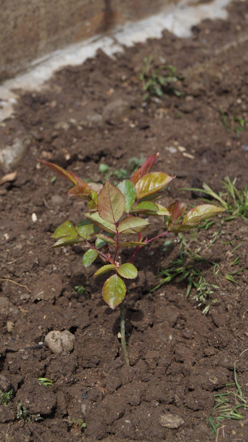 В Ялте прошла акция «Посади розу памяти» (17)