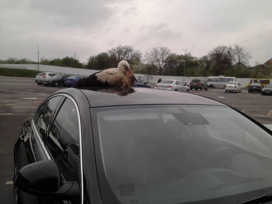 Пригоди Васі продовжуються: знаменитий лелека ходить по машинам ужгородців, фото-2