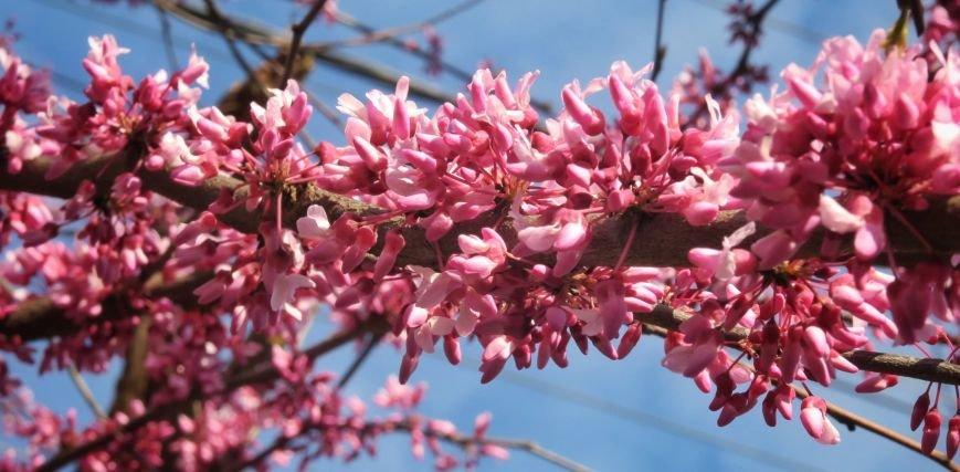 В Ужгороді на повну квітне неймовірної краси Іудине дерево: фото, фото-4