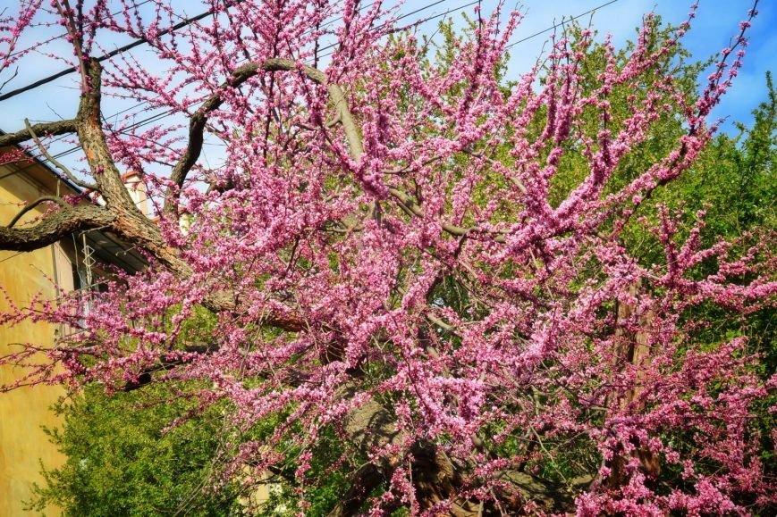 В Ужгороді на повну квітне неймовірної краси Іудине дерево: фото, фото-1