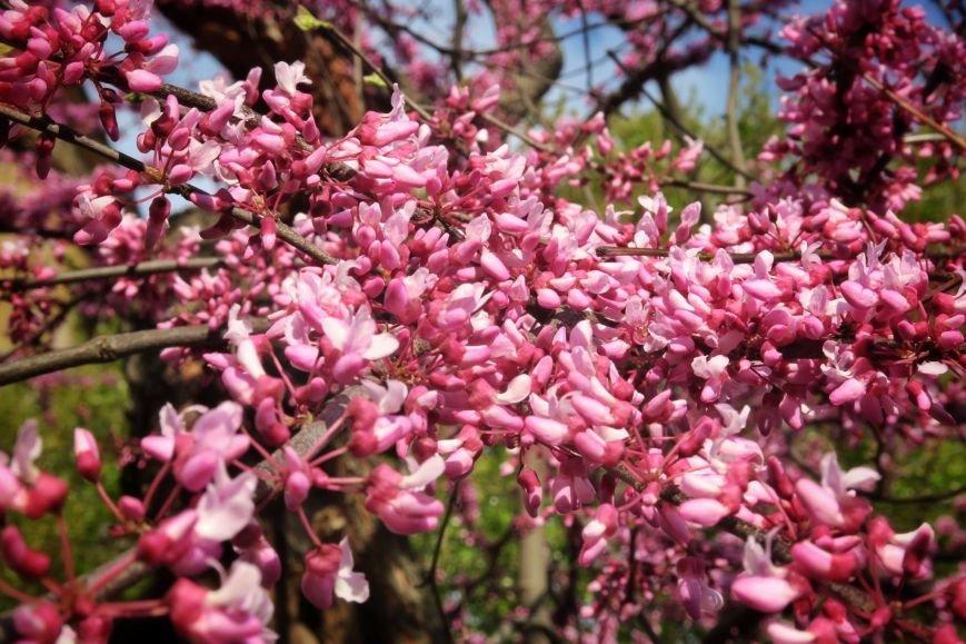 В Ужгороді на повну квітне неймовірної краси Іудине дерево: фото, фото-2