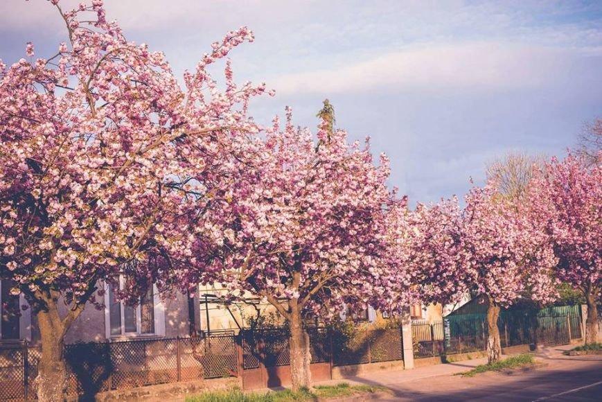 Квітучий Ужгород: у мережі опублікували чудові фото передсвяткового міста, фото-2
