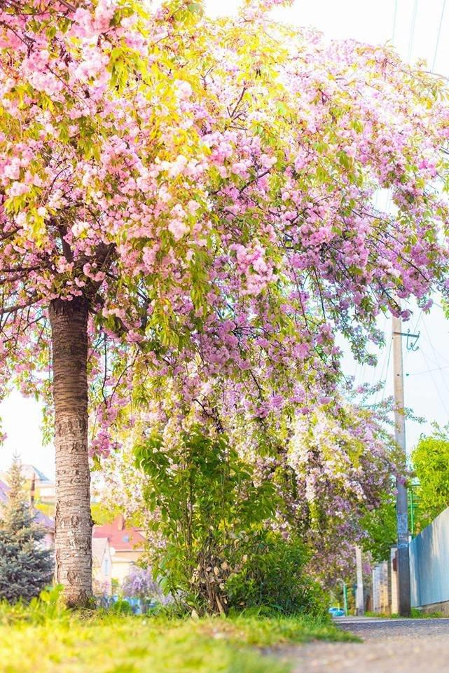 Квітучий Ужгород: у мережі опублікували чудові фото передсвяткового міста, фото-4