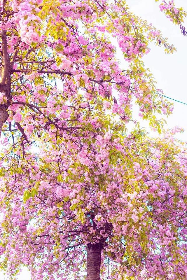 Квітучий Ужгород: у мережі опублікували чудові фото передсвяткового міста, фото-3