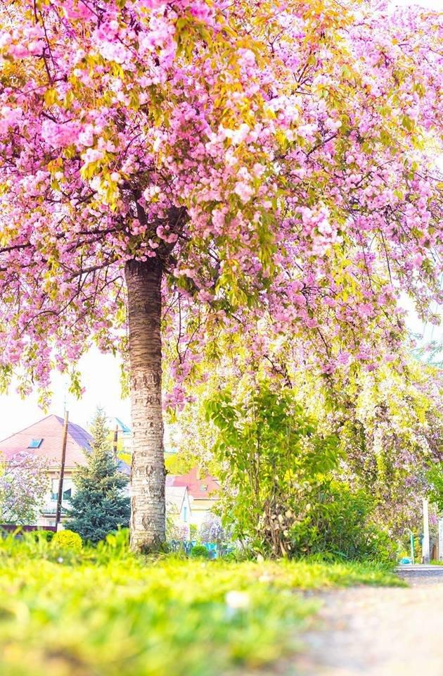 Квітучий Ужгород: у мережі опублікували чудові фото передсвяткового міста, фото-6