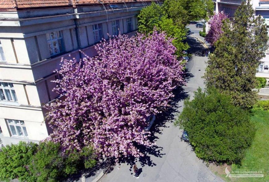 Неймовірна краса: сакури у центрі Ужгорода з висоти пташиного польоту, фото-5