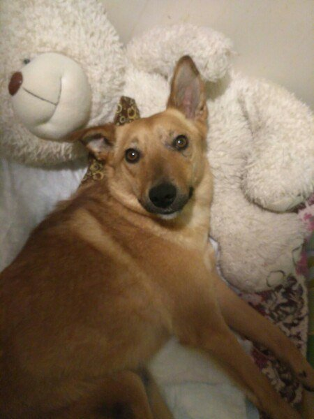 «Муж сделал инвалидную коляску для собаки, мы заново учимся ходить». Как полочанка спасла от смерти дворняжку Шани, фото-3