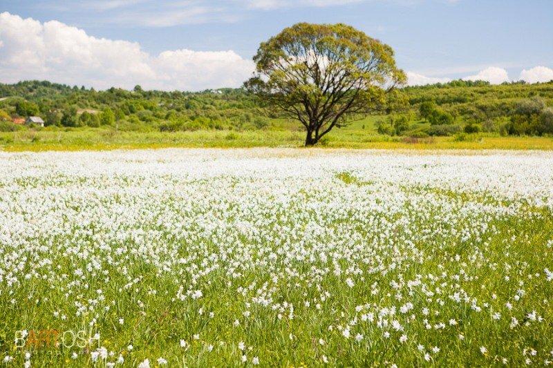 Експерти розповіли, коли у 2017 році розцвіте закарпатська Долина нарцисів, фото-1