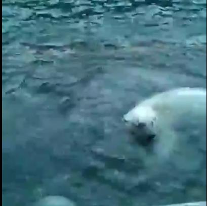 медведь в видео