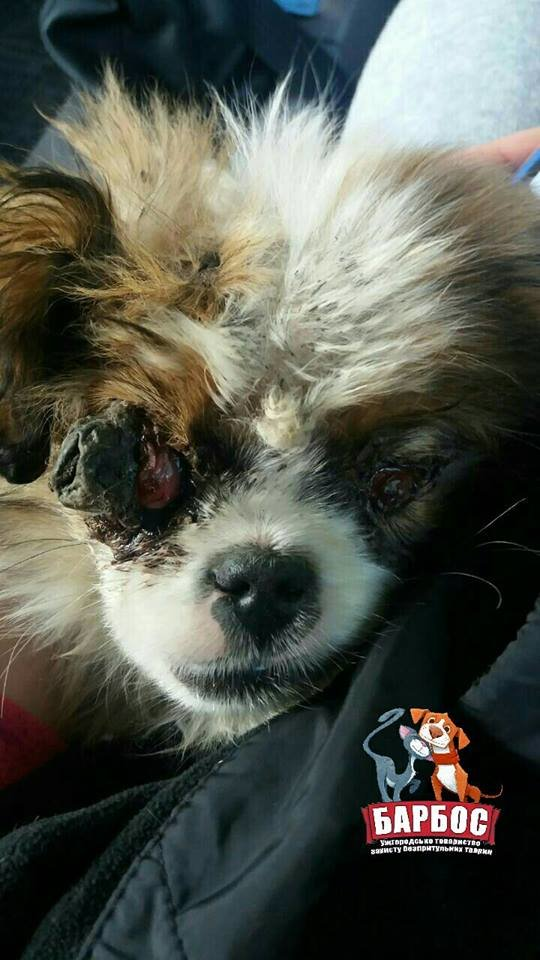 Без очей та з переломом щелепи - на Ужгородщині серед поля знайшли песика, над яким познущались люди: фото, фото-3