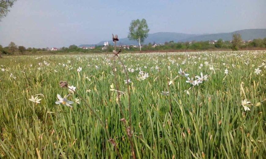 У Карпатському біосферному заповіднику очікують масове цвітіння Долини нарцисів: фото, фото-9