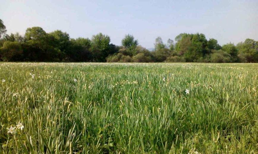 У Карпатському біосферному заповіднику очікують масове цвітіння Долини нарцисів: фото, фото-3