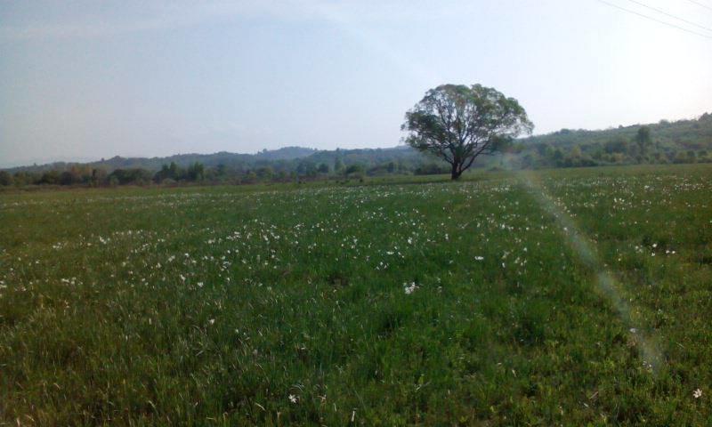 У Карпатському біосферному заповіднику очікують масове цвітіння Долини нарцисів: фото, фото-2