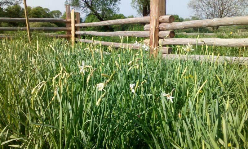 У Карпатському біосферному заповіднику очікують масове цвітіння Долини нарцисів: фото, фото-6