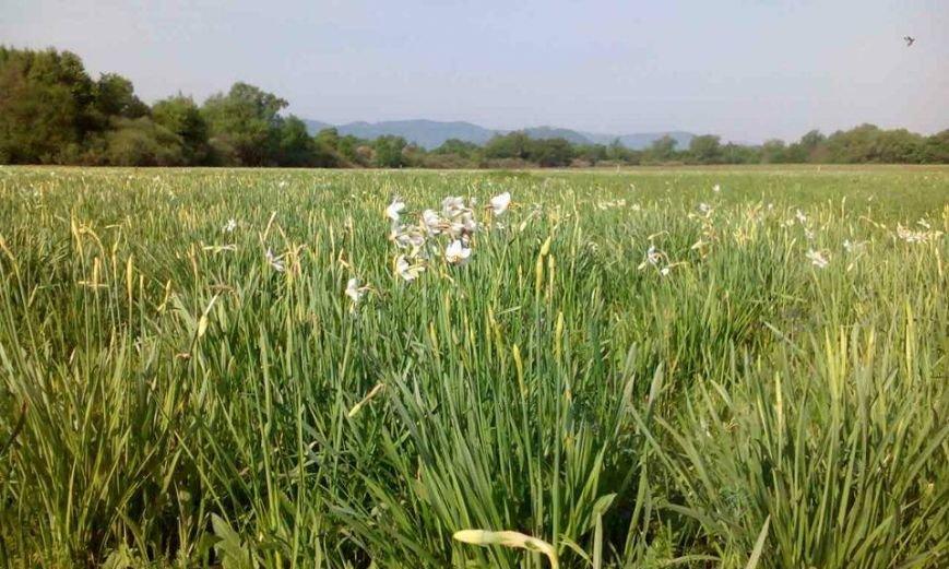У Карпатському біосферному заповіднику очікують масове цвітіння Долини нарцисів: фото, фото-7