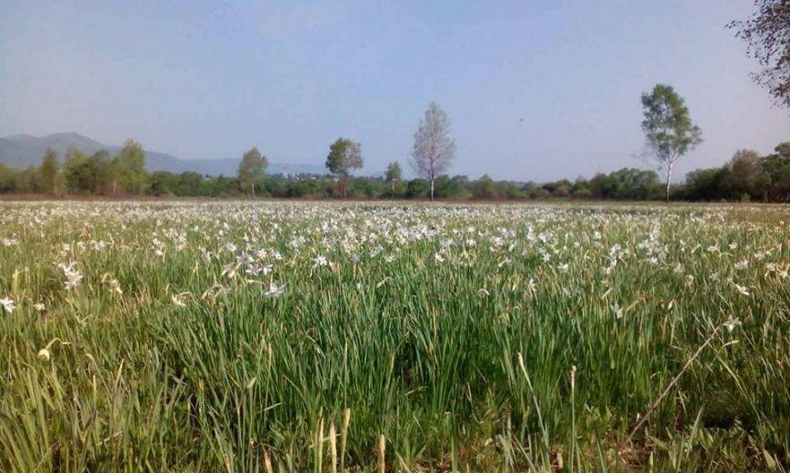 У Карпатському біосферному заповіднику очікують масове цвітіння Долини нарцисів: фото, фото-1