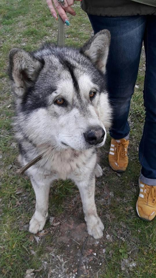 """Породистий пес, якого покинув в Конотопі """"КОБЗОВ"""", шукає нового господаря, фото-1"""