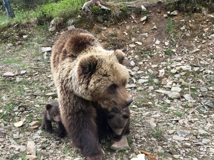 """У ведмедів Маші та Бубочки з нацпарку """"Синевир"""" народилося троє ведмежат: фото, відео, фото-1"""