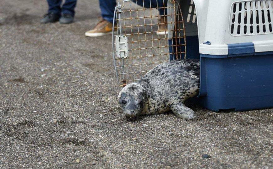 В Холмске тюлень по имени Ларик вернулся в родную стихию, фото-1