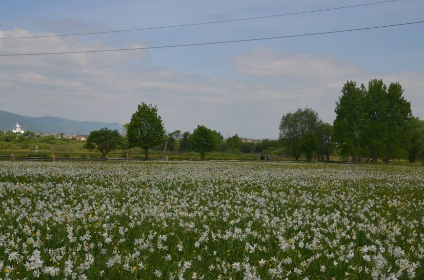 У мережі поділились неймовірними фото квітучої Долини нарцисів, фото-2