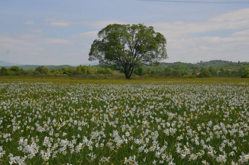 У мережі поділились неймовірними фото квітучої Долини нарцисів, фото-1