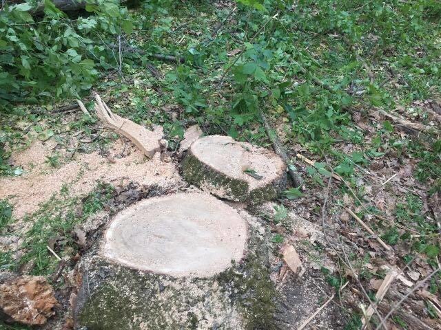 На Харьковщине браконьеры уничтожают дубовые рощи (ФОТО), фото-2