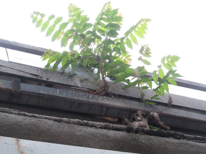 Дерево, которое смогло: На одесском мосту появилась лишняя флора (ФОТО), фото-13