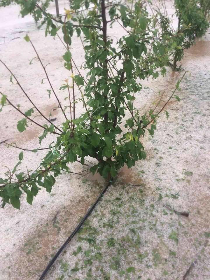 Урожай крымских фруктов пострадал от сильного града (ФОТО), фото-1