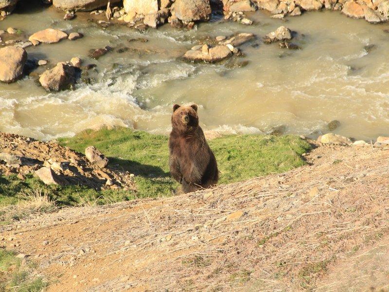 Медведь у реки Гейзерной. Иван Николаев
