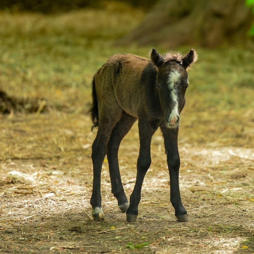 Шетлендский пони и два ослопоня родились в зоопарке Ростова, фото-2