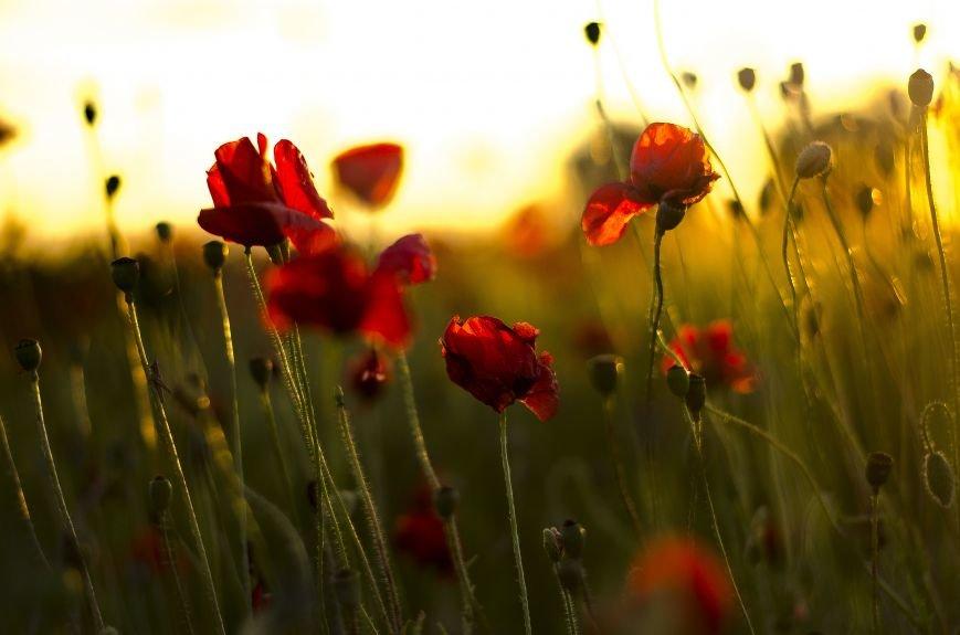 Буйство красок - маковые поля Крыма (ФОТО), фото-5
