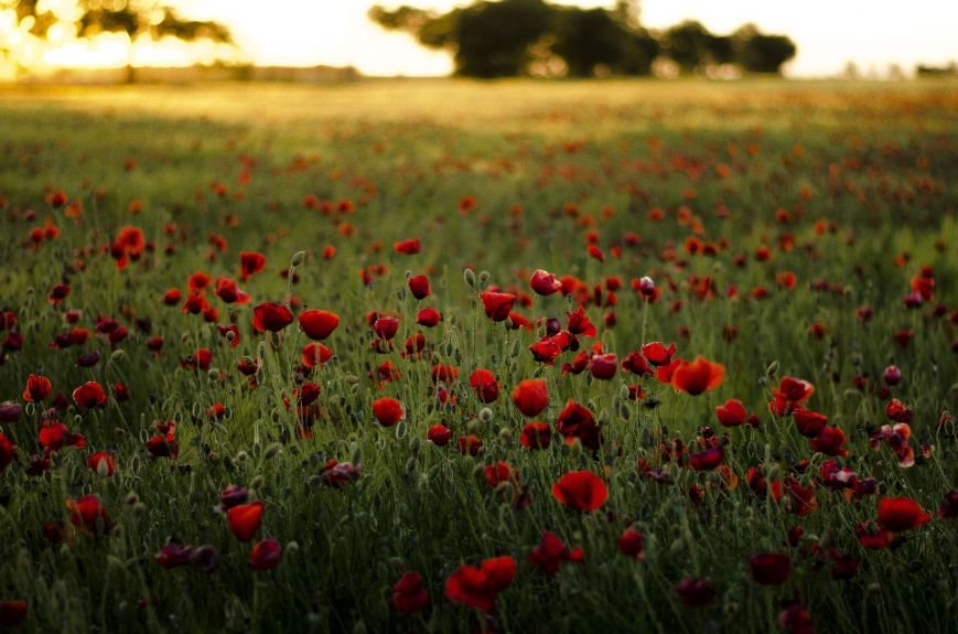 Буйство красок - маковые поля Крыма (ФОТО), фото-7