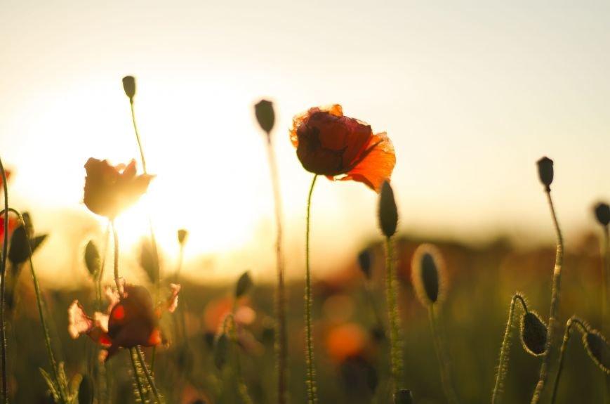 Буйство красок - маковые поля Крыма (ФОТО), фото-3