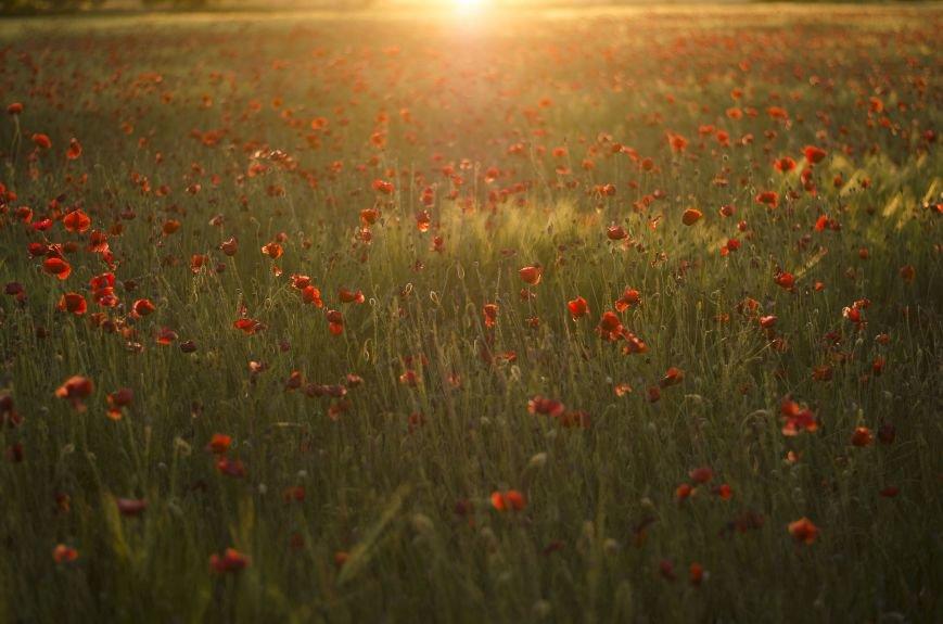 Буйство красок - маковые поля Крыма (ФОТО), фото-4