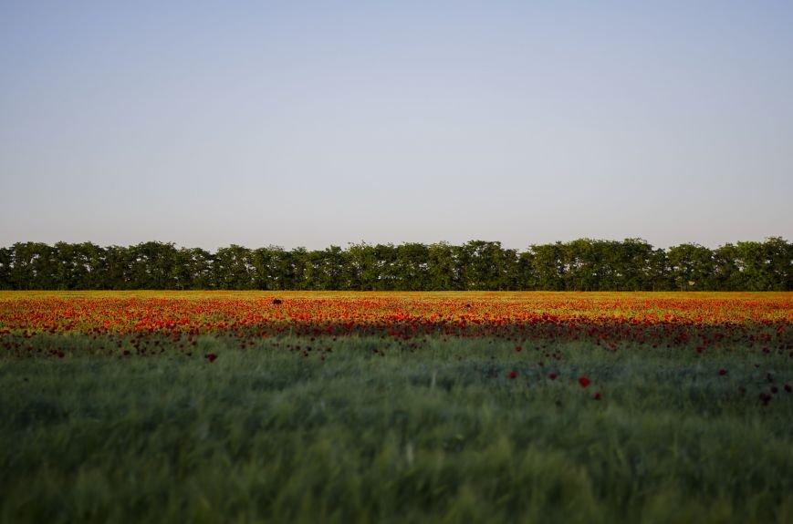 Буйство красок - маковые поля Крыма (ФОТО), фото-1