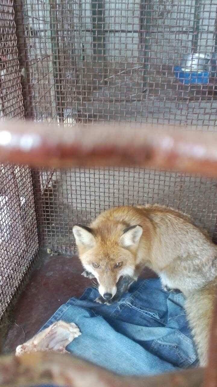 Заблудилась? В Мариуполе на детской площадке обнаружена лисица (ФОТО), фото-2