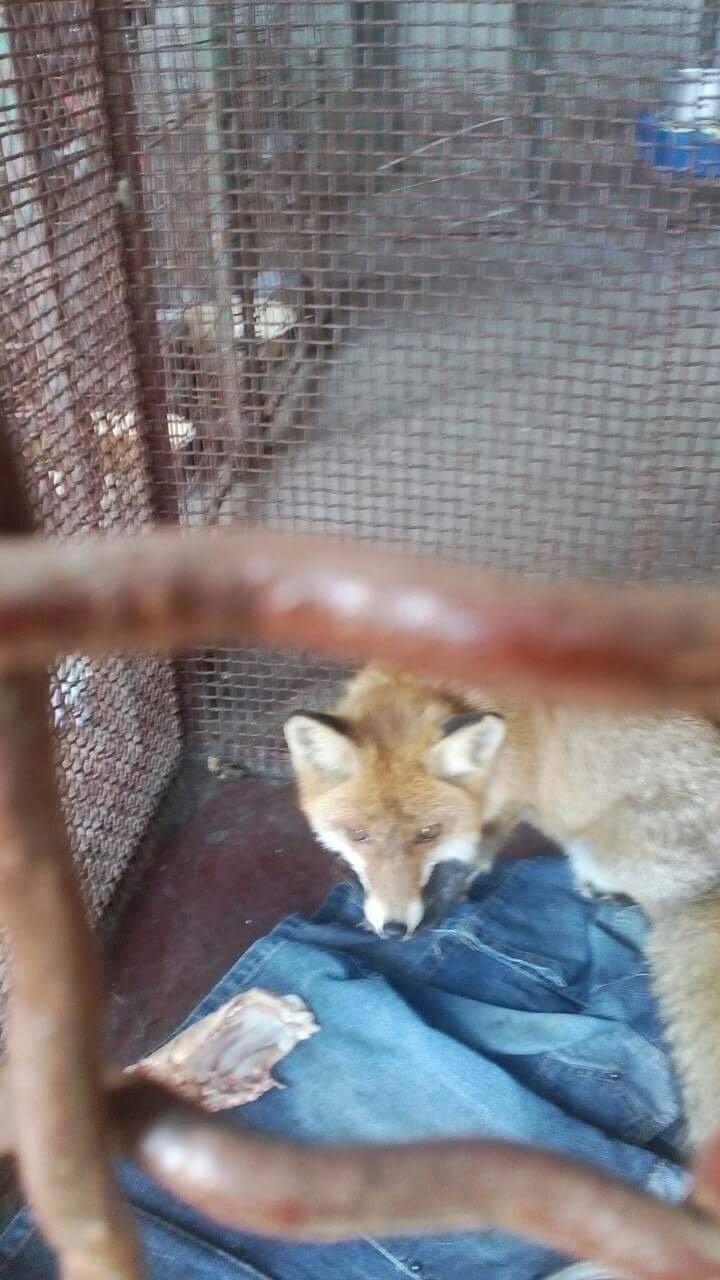 Заблудилась? В Мариуполе на детской площадке обнаружена лисица (ФОТО), фото-1