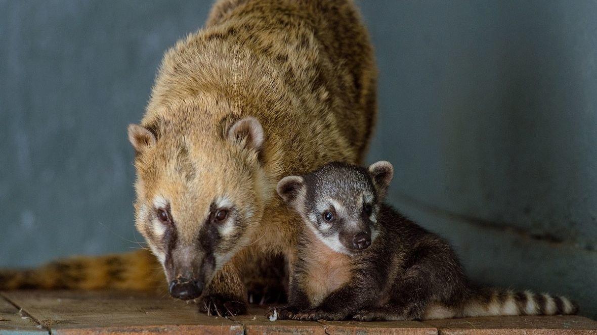 Детеныш носухи родился в зоопарке Ростова-на-Дону, фото-2