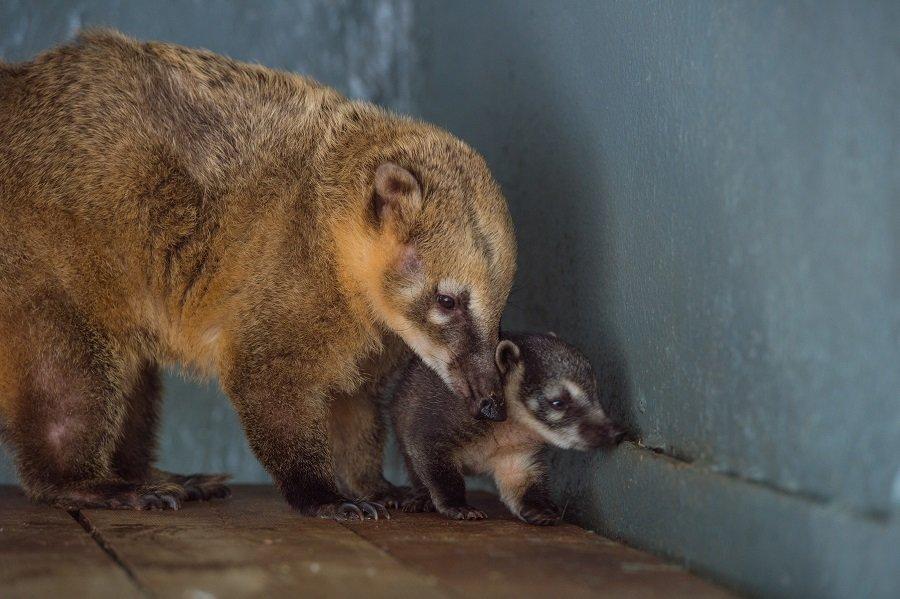 Детеныш носухи родился в зоопарке Ростова-на-Дону, фото-1