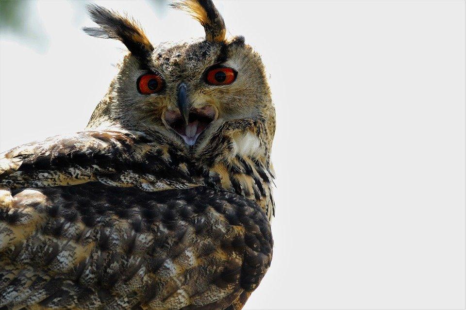 eurasian-eagle-owl-1575082_960_720