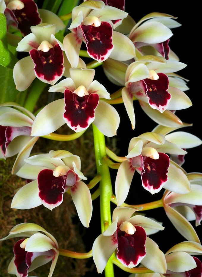 орхидея_265_цимбидиум_фото_www.flowerinfo.org.ua