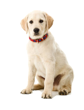 Labrador-1