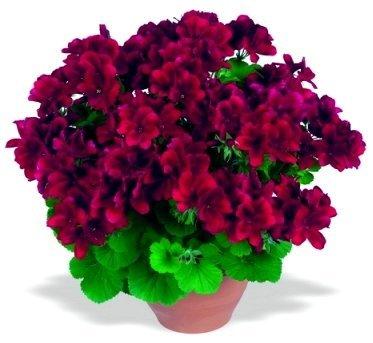 Aristo Velvet Red