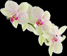 орхідея333