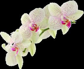 орхідея333 (копія)