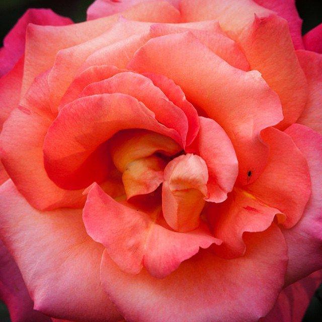 Розовый павильон в Павловске8